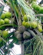 photo of coconuts on tree