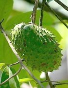 soursop on tree picture