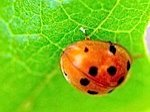 picture of a beetle specie