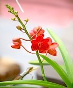 picture of red orchids found in malaysia