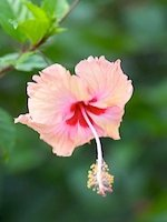 hibiscus - malaysia's national flower