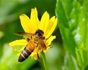 picture of a bee and yellow flower