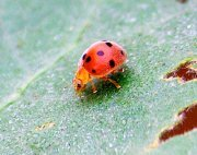 photo of a malaysian weevil with spots