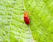 photo of a leaf beetle in malaysia