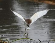 pond heron flying picture