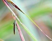 photo of a malaysian bug