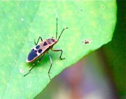 photo of a malaysian seed bug