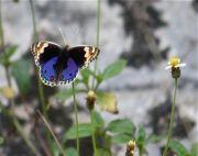 malaysian butterflies - blue pansy