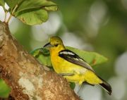 common iora, bird found in malaysia