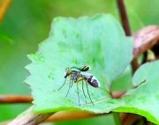 image of a malaysian long-legged-fly