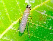 photo of a malaysian soldier fly