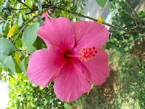 big red hibiscus flower