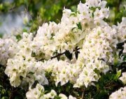 white bougainvillea flowers