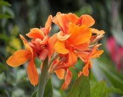 orange-colored canna flowers
