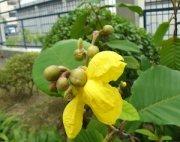yellow dillenia flowers