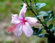 beautiful pink and white hibiscus