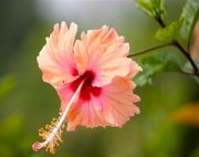 mixed colored hibiscus flower