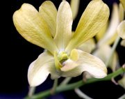yellowish colored orchids