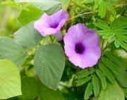purple morning glory flowers
