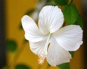 white colored hibiscus