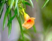 yellow oleander flower