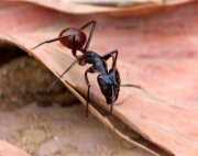 photo of a forest ant in malaysia