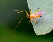 photo of a malaysian assassin bug