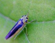 leafhopper picture