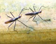 picture of neriid flies found in malaysia