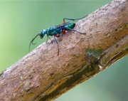 soldier fly of malaysia picture