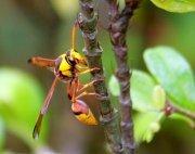 photo of a malaysian wasp