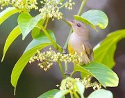 orange-bellied flowerpecker bird seen at natural lakes in malaysia