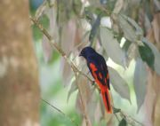 scarlet minivet bird seen at malaysia lakes