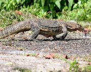 photo of bengal or clouded monitor lizard