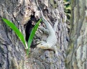 picture of a young monitor lizard in Malaysia