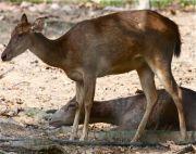 photo of sambar deer