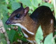 photo of lesser mouse deer or kancil of malaysia
