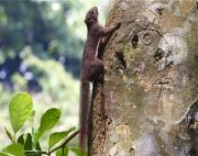 tree squirrel of malaysia picture