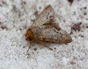 moth of malaysia