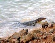 water monitor lizard at lake kenyir, malaysia