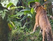 picture of a malayan tiger sniffing at tree