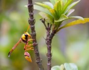 yellow-tailed wasp picture in malaysia