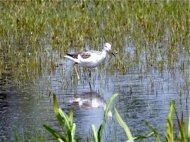 common greenshank photo