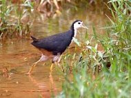 white-breasted waterhen photo