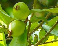 picture of guava fruit on tree