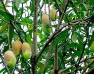 picture of ripe mangoes on tree