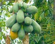 photo of papayas on tree