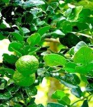 photo of kaffir lime on tree