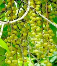 picture of langsat on tree