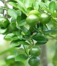 photo of malaysian orange fruits on tree